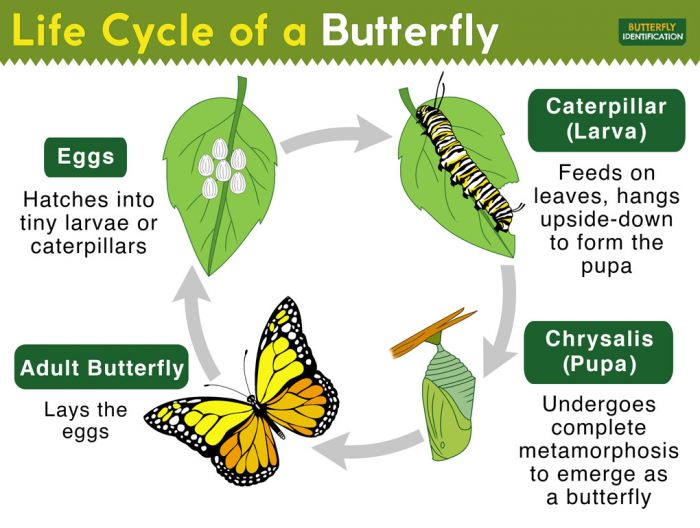 Longhorn Chart - The Butterfly Life Cycle