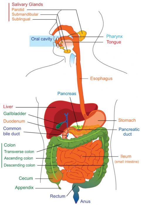 Longhorn Chart - The Digestive System